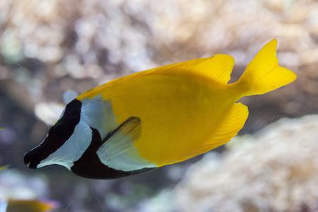 rabbitfish: Foxface rabbitfish (Siganus vulpinus). Marine fish. Stock Photo