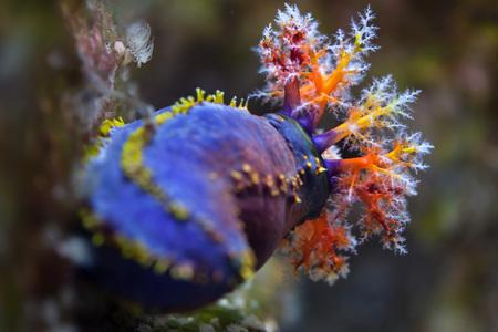 indopacific: Australian sea apple (Pseudocolochirus axiologus). Stock Photo