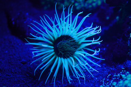 fluorescence: Cylinder anemone (Cerianthus membranaceus), also known as the coloured tube anemone.