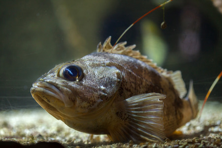 redfish: Blackbelly rosefish (Helicolenus dactylopterus), also known as the bluemouth rockfish.