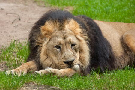 felid: Asiatic lion (Panthera leo persica), also known as the Indian lion. Wildlife animal. Stock Photo