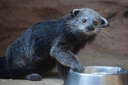 bearcat: Binturong (Arctictis binturong), also known as the bearcat. Wildlife animal.