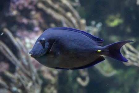 acanthurus: Atlantic blue tang (Acanthurus coeruleus), also known as the blue doctorfish.
