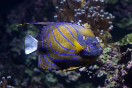 pomacanthus: Blue ring angelfish (Pomacanthus annularis). Marine fish.