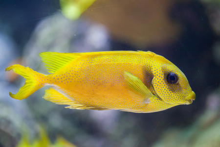 Blue-spotted spinefoot (Siganus corallinus), also known as the coral rabbitfish. Stock Photo