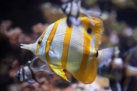 chelmon: Copperband butterflyfish (Chelmon rostratus). Marine fish.