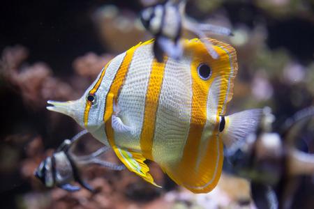 copperband butterflyfish: Copperband butterflyfish (Chelmon rostratus). Marine fish.