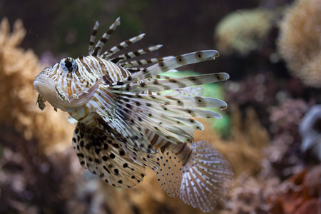 common lionfish: Red lionfish (Pterois volitans). Wildlife animal.