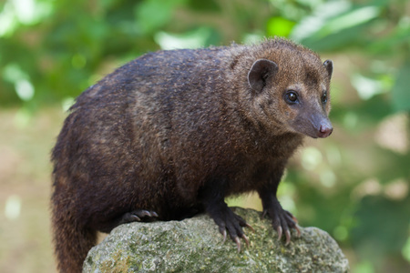 Common kusimanse (Crossarchus obscurus), also known as the long-nosed kusimanse. Wildlife animal. Stock Photo