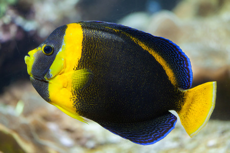 indopacific: Scribbled angelfish (Chaetodontoplus duboulayi), also known as the Duboulay angelfish.