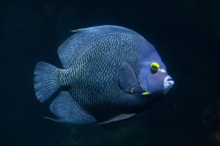pomacanthus: French angelfish (Pomacanthus paru). Marine fish. Stock Photo