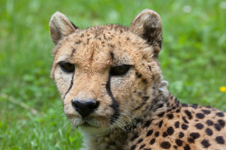 savannas: Cheetah (Acinonyx jubatus). Wildlife animal.