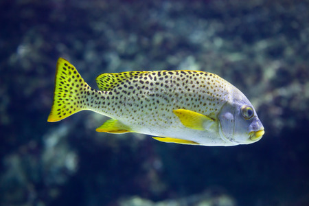 blackspotted: Black-spotted rubberlip (Plectorhinchus gaterinus), also known as the black-spotted sweetlips.