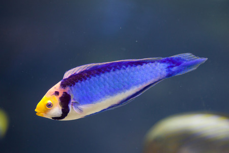 labridae: Red-eye wrasse (Cirrhilabrus solorensis), also known as the red-headed fairy wrasse. Stock Photo