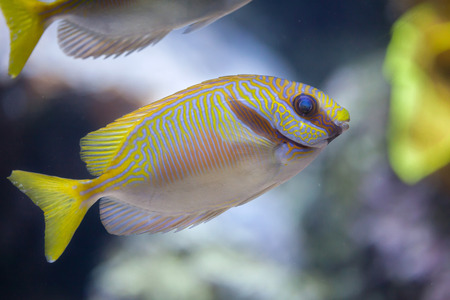 perciformes: Scribbled rabbitfish (Siganus doliatus), also known as the barred spinefoot.