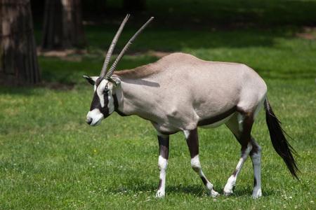 bovidae: Gemsbok (Oryx gazella gazella), also known as the Southern oryx. Wildlife animal.