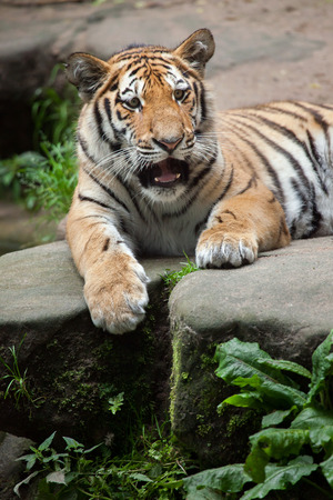 felid: Young Siberian tiger (Panthera tigris altaica), also known as the Amur tiger. Wildlife animal.