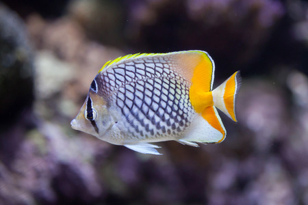 chaetodontidae: Pearlscale butterflyfish (Chaetodon xanthurus), also known as the Philippines chevron butterflyfish. Stock Photo