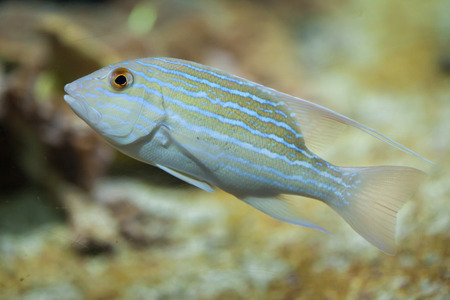 indopacific: Sailfin snapper (Symphorichthys spilurus), also known as the blue-lined sea bream. Stock Photo