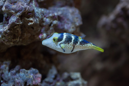Valentinni sharpnose puffer (Canthigaster valentini), also known as the saddled puffer.