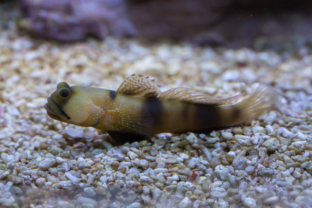a watchman: Bluespotted watchman goby (Cryptocentrus pavoninoides). Marine fish.