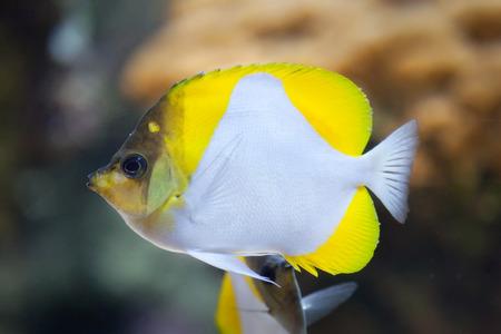 indopacific: Pyramid butterflyfish (Hemitaurichthys polylepis). Marine fish. Stock Photo
