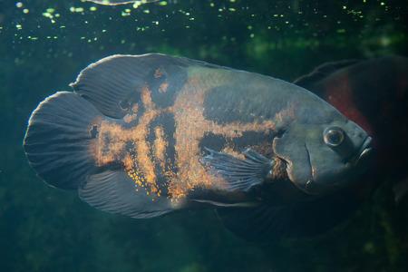 ocellatus: Oscar fish (Astronotus ocellatus). Wildlife animal.