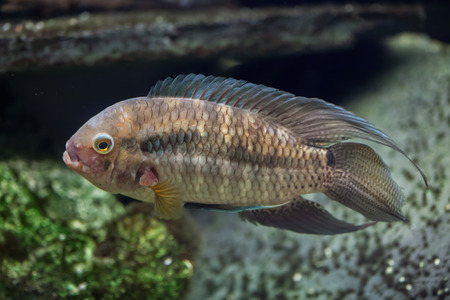 perciformes: Orinoco cichlasoma (Cichlasoma orinocense). Freshwater fish.