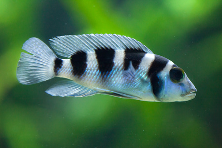 cyphotilapia: Frontosa (Cyphotilapia frontosa), also known as the humphead cichlid. Juvenile fish.