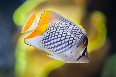 Pearlscale butterflyfish (Chaetodon xanthurus), also known as the Philippines chevron butterflyfish. Stock Photo