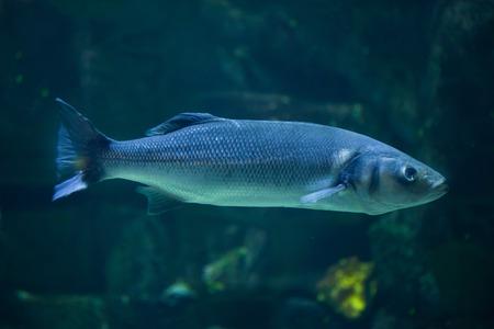 European seabass (Dicentrarchus labrax), also known as the Mediterranean seabass. Stock Photo