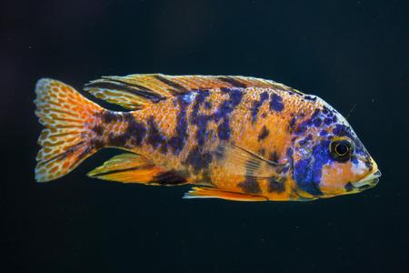 Orange blotch peacock (Aulonocara sp.). Freshwater fish.