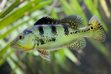 peacock cichlid: Butterfly peacock bass (Cichla ocellaris).