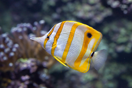 indopacific: Copperband butterflyfish (Chelmon rostratus). Marine fish.