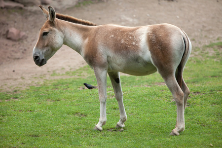 Turkmenian kulan (Equus hemionus kulan), also known as the Transcaspian wild ass. Wildlife animal.