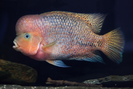 cichlid: Quetzal cichlid (Paraneetroplus synspilus), also known as the redhead cichlid. Stock Photo