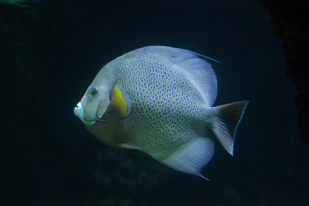 perciformes: Grey angelfish (Pomacanthus arcuatus), also known as the black angelfish.