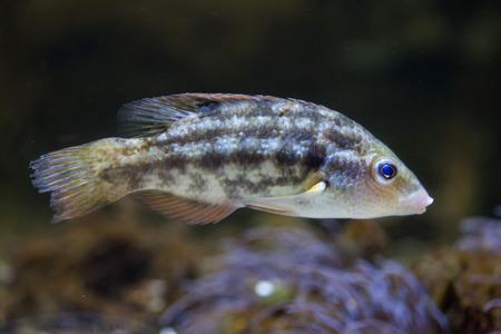 actinopterygii: Corkwing wrasse (Symphodus melops). Marine fish.