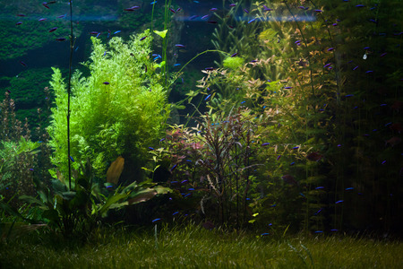 freshwater aquarium plants: Underwater plants in the Rio Negro, Brazil. Stock Photo
