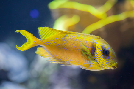 rabbitfish: Blue-spotted spinefoot (Siganus corallinus), also known as the coral rabbitfish. Stock Photo