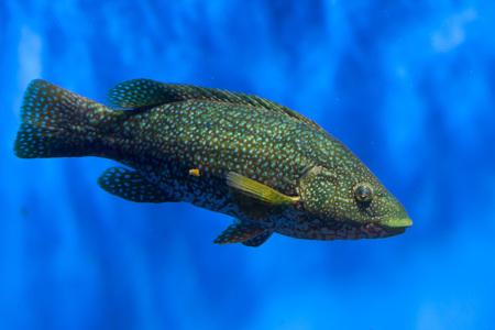perciformes: Ballan wrasse (Labrus bergylta). Marine fish.