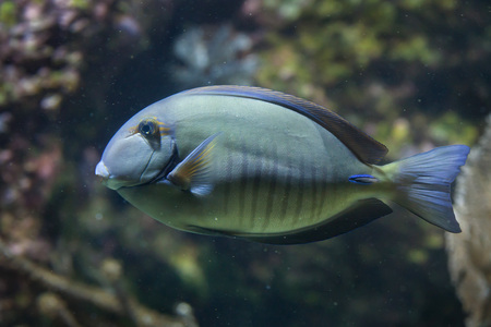 hepatus: Doctorfish (Acanthurus chirurgus), also known as the doctorfish tang.