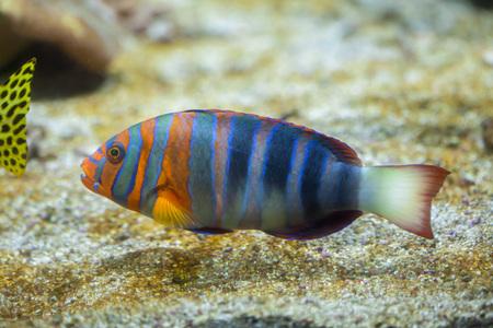 wrasse: Harlequin tuskfish (Choerodon fasciatus). Marine fish.