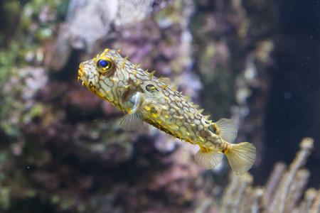 boxfish: Striped burrfish (Chilomycterus schoepfi), also known as the spiny boxfish.