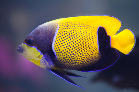 indopacific: Blue-girdled angelfish (Pomacanthus navarchus), also known as the majestic angelfish.