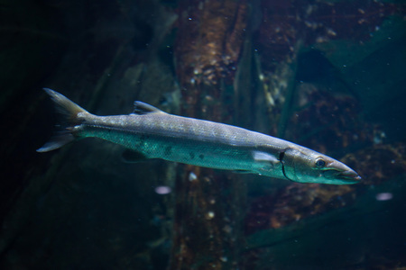 perciformes: Great barracuda (Sphyraena barracuda), also known as the giant barracuda.