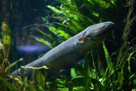 Electric Eel (Electrophorus electricus). Vers water vis.