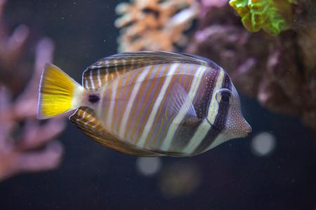tang: Sailfin tang (Zebrasoma veliferum). Marine fish.