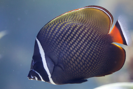 chaetodontidae: Red-tailed butterflyfish (Chaetodon collare), also known as the Pakistani butterflyfish.