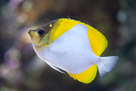 chaetodontidae: Pyramid butterflyfish (Hemitaurichthys polylepis). Marine fish. Stock Photo